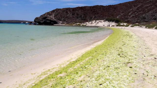 Descarta Conanp afectación a playa Balandra por algas