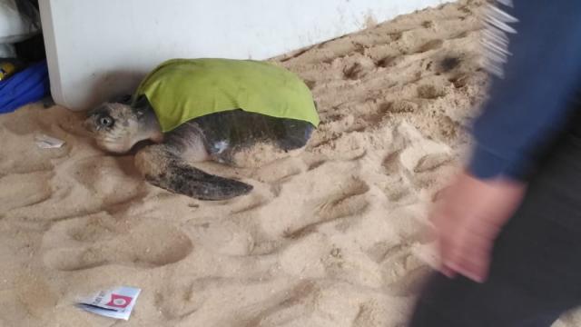 De nuevo… ahora encuentran una tortuga herida en playa El Médano