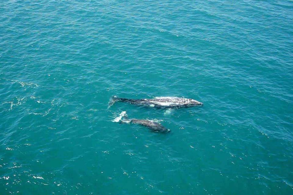 El 90% de ballena gris del mundo nace en BCS