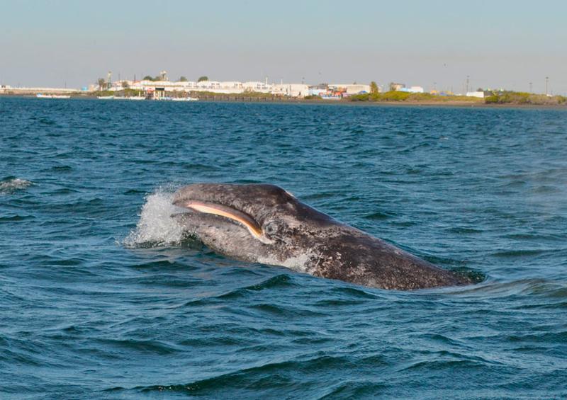 Reconoce alcalde de Comondú menor turismo para ver ballenas
