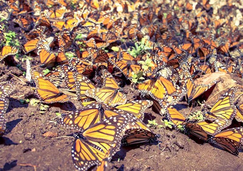 Mariposa Monarca redujo en 53% zona ocupada en bosques mexicanos de hibernación