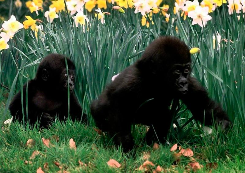 Gorilas, orangutanes y chimpancés, amenazados por coronavirus