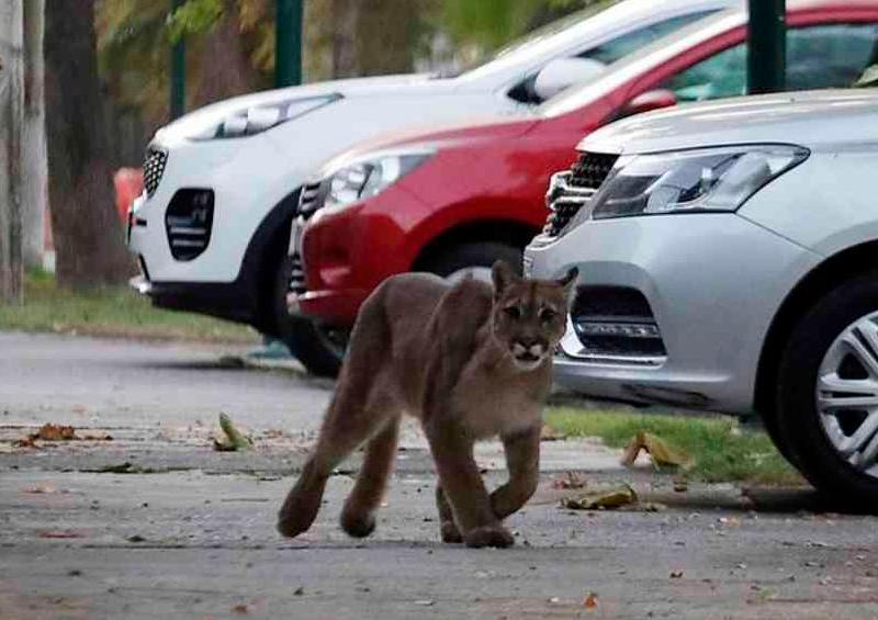 Capturan a Puma deambulando por las calles de Chile
