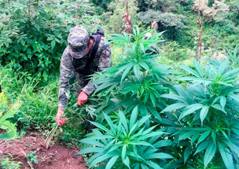 Localizan más de 35 mil plantas de marihuana en Baja California
