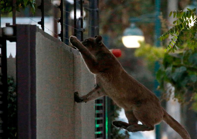 Capturan a un segundo puma salvaje en medio de la cuarentena de Santiago de Chile