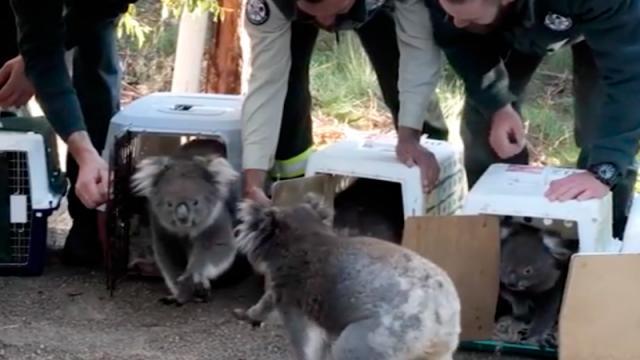 Llevan de vuelta al bosque a los koalas que fueron evacuados