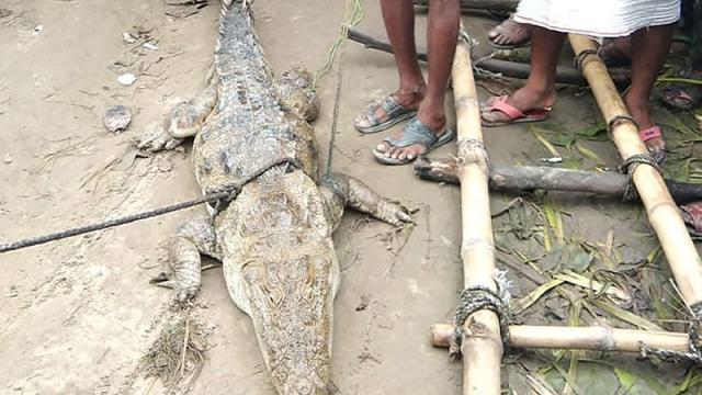 Aldea en India secuestra a cocodrilo